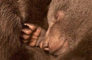Bear cubs Kuterevo