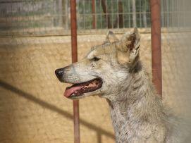 Canis lupus arabs