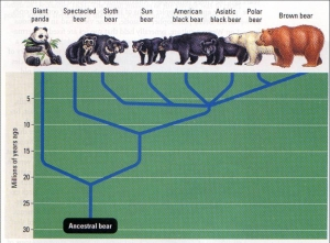 Evolution of different bear species