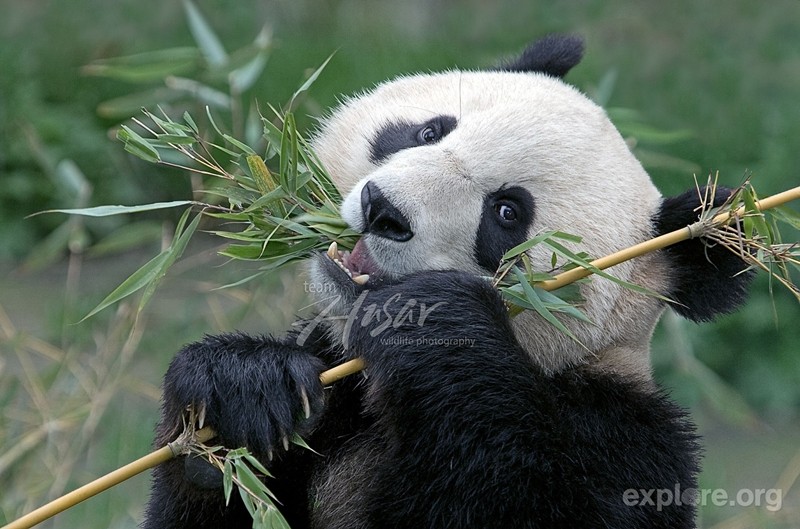 Asian elephant panda bear distribution