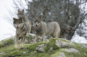 Iberian wolf (C. lupus signatus)